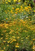 Many Gerber and black eyed susans in the garden