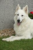 picture of swiss shepherd dog  - Portrait of Amazing White Swiss Shepherd Dog - JPG