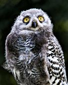 picture of snowy owl  - A young snowy owl stares at the camera - JPG