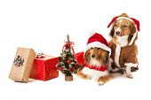 image of christmas dog  - Portrait of two dogs with christmas gift and miniature christmas tree - JPG