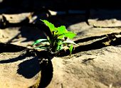 pic of drought  - OUTBREAK OF PLANT GROWING IN DROUGHT EARTH - JPG