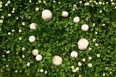 stock photo of fairy  - a Fairy ring of mushrooms in a meadow - JPG