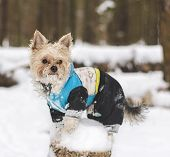 picture of no clothes  - Cute adult Yorkshire Terrier stands in winter clothes in the snow on a stump - JPG