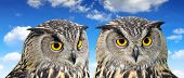 pic of pecker  - Eagle Owl - JPG