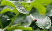 foto of larva  - Colorado Beetle Larva on potato plant leaves - JPG