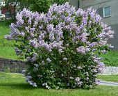 image of lilac bush  - Lilacs blossoming on a bush Sweden in May - JPG