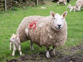 picture of spring lambs  - New born spring lamb and mother - JPG