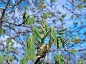 image of chestnut horse  - Horse chestnut flower buds on a branch in the park - JPG