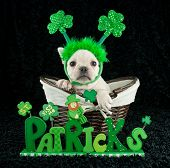 picture of headband  - Cute french bulldog wearing a shamrock headband sitting in a basket with a St Patrick - JPG