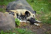 foto of hyenas  - Young hyena tired after hunting and sleeping on the grass between two stones - JPG