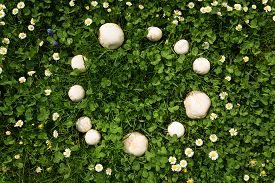picture of sorcerer  - a Fairy ring of mushrooms in a meadow - JPG