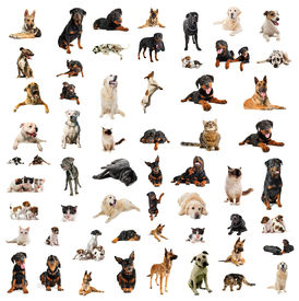 stock photo of cat dog  - purebred dogs puppies and cats on a white background - JPG
