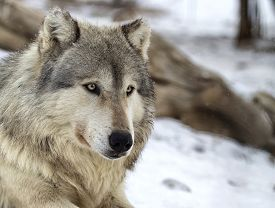 picture of timber  - Close up image of a timber wolf - JPG