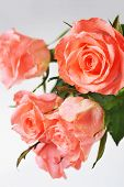 picture of bunch roses  - Bunch of pink roses isolated close up - JPG