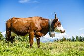 foto of cow  - Cow farm animal in the french alps Abondance race cow savy beaufort sur Doron - JPG