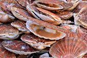pic of scallops  - France scallops at the market of Le Touquet Paris Plage - JPG