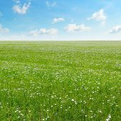 stock photo of flax plant  - field with flowering flax and blue sky - JPG