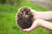 stock photo of crew cut  - Hands holding hedgehog outdoors - JPG