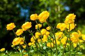 foto of cowslip  - yellow flowers italmas on a green meadow - JPG