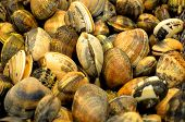 stock photo of clam  - clams harvested early in the morning because they are more good - JPG