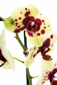 picture of yellow orchid  - Branch of yellow and purple orchid flower - JPG