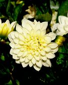picture of yellow buds  - Big Yellow Flower of Dahlia with Buds closeup on Green Leafs background Outdoors - JPG