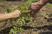 foto of prunes  - Manually pruning small tomato plants to facilitate growth - JPG