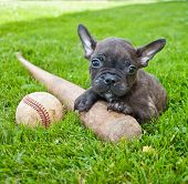picture of baseball bat  - Tiny French Bulldog puppy laying in the grass outdoors with a baseball and bat - JPG