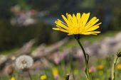 stock photo of bavaria  - Dandelion flower on mountain Jaegerkamp in the Alps in Bavaria Germany - JPG