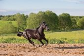 picture of galloping horse  - Brown horse runs gallop at summer day - JPG