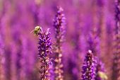 pic of clary  - Macro of a Bee on a woodland sage - JPG