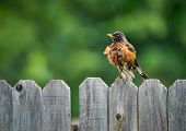 pic of bird fence  - American robin  - JPG