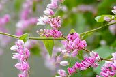 foto of vines  - Antigonon leptopus - JPG