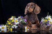 picture of dachshund dog  - dachshund dog - JPG
