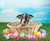 picture of easter basket eggs  - Cute Boston Terrier puppy sitting in an Easter basket with Easter eggs and candy around her with copy space - JPG