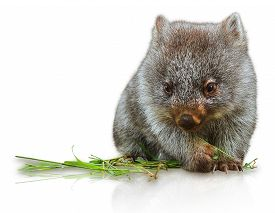 image of wombat  - Little wombat female 3 months - JPG
