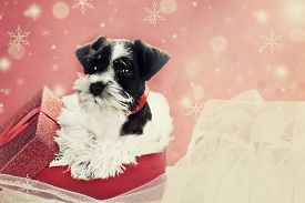 pic of puppy christmas  - Retro image of a cute little black and white Mini Schnauzer puppy peeping out of a beautiful red festive Christmas present - JPG