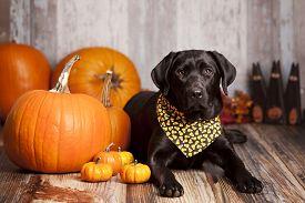 stock photo of labrador  - Beautiful Black Labrador Retriever next to pumpkins - JPG