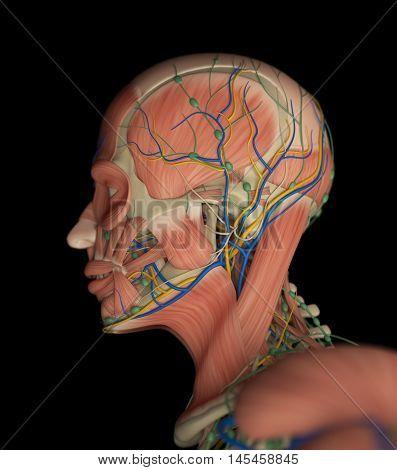 Human muscular vascular
