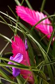 picture of tillandsia  - tillandsia flower - JPG