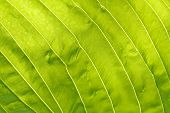 stock photo of chloroplast  - A leaf background on a sunny day - JPG