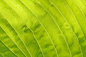 foto of chloroplast  - A leaf background on a sunny day - JPG