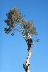 picture of cutting trees  - A large tree is being cut down by a man suspended ropes - JPG