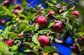 Red Organic Apples Hanging From A Tree Branch In An Autumn Apple Orchard. Great Picture Of Ripe Appl poster