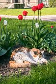 A Lazy Tricolor Pussycat, Relaxing In A Flower Bed Between Bright Blooming Tulips. poster