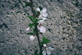 Blooming Apple Tree Branch. Beautiful Blooming Branch. poster