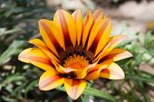 Closeup Of A Gazania Flower In The Oasis Of Huacachina, Ica, Peru poster