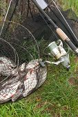 Black Fishing Net With Catched Freshwater Fish And Fishing Rod With Reel On Natural Background. poster