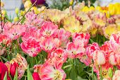 Field Of Blooming Colorful Tulips Tulips, Spring Flowers In The Gardenfield Of Blooming Colorful Tul poster