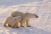 stock photo of polar bears  - Polar bear with her cub. Photographed in the Canadian Arctic